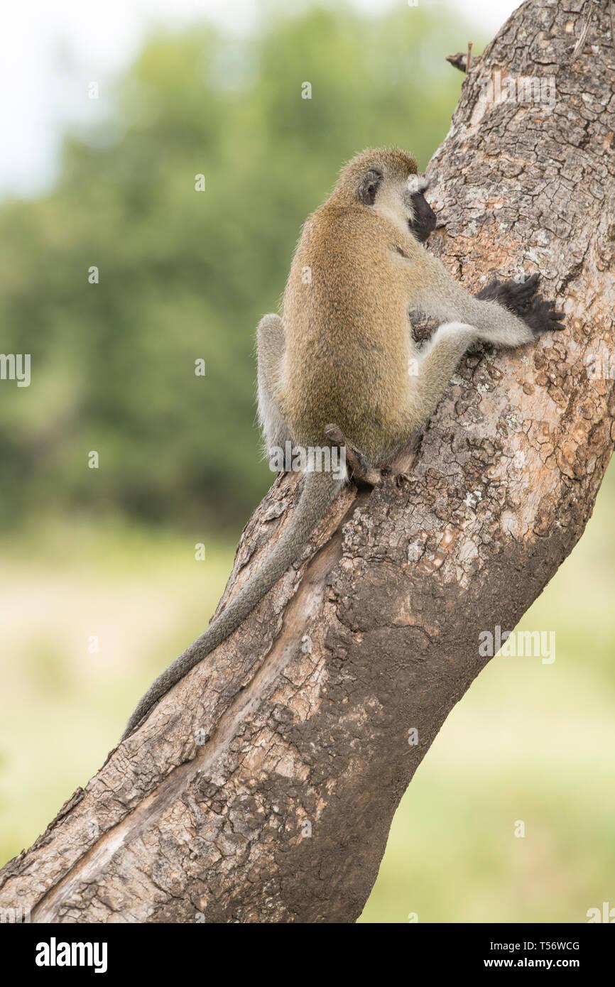 Vervet monkey sitting in a tree - Stock Photo