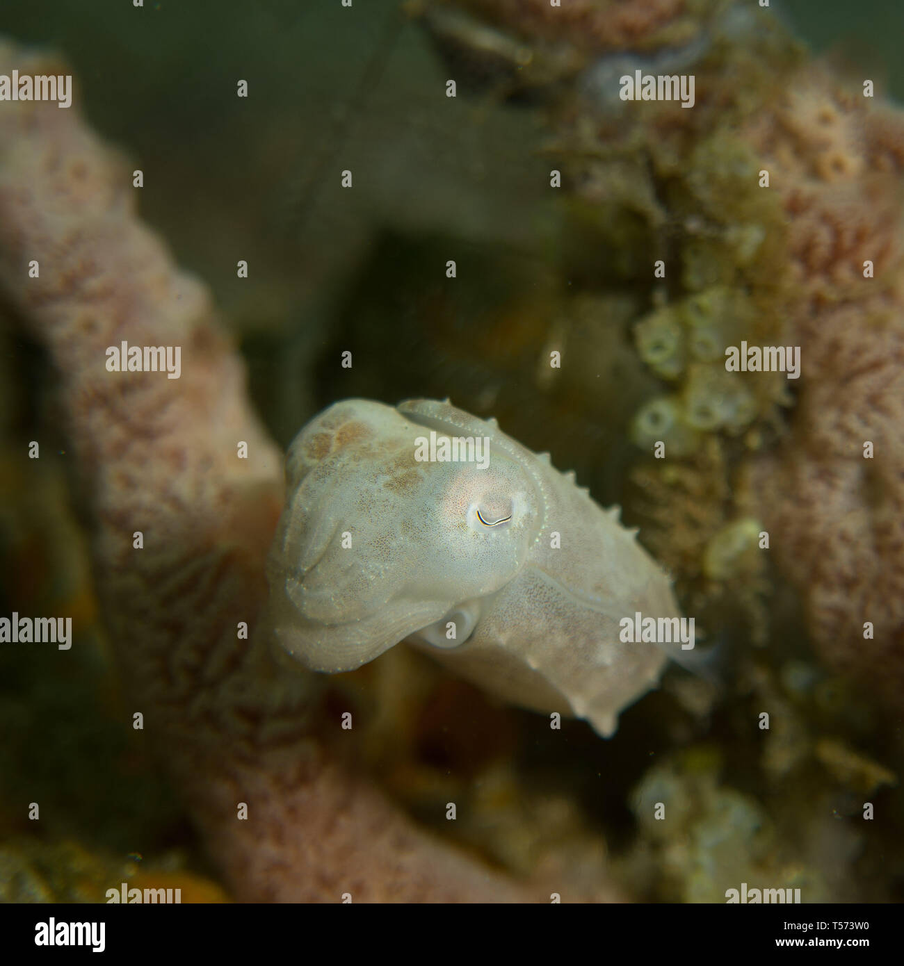 Pygmy cuttlefish on a reef in North Sulawesi, Indonesia Stock Photo