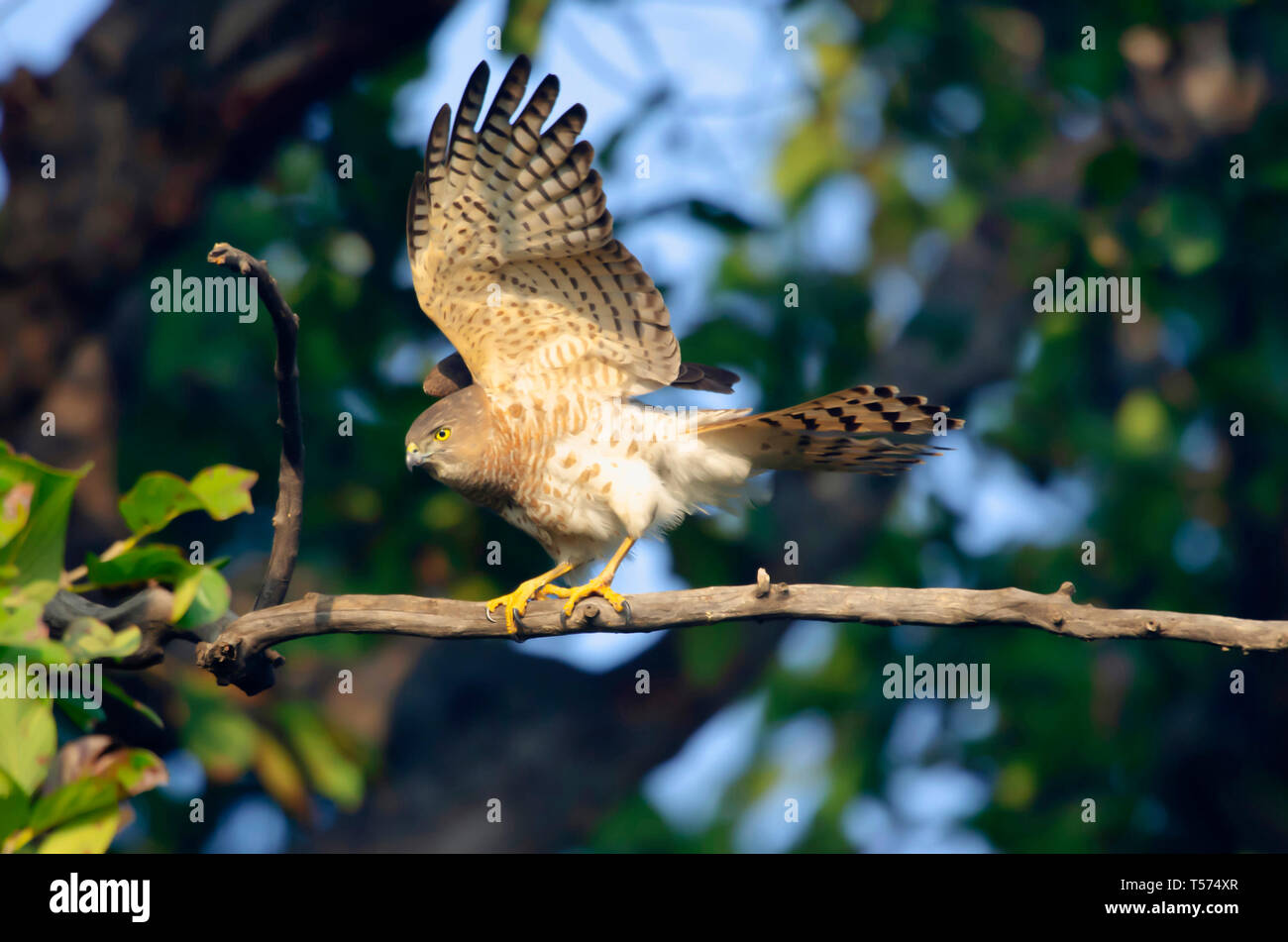 Shikra, Accipiter badius, Keoladeo National Park, Bharatpur, India. - Stock Image