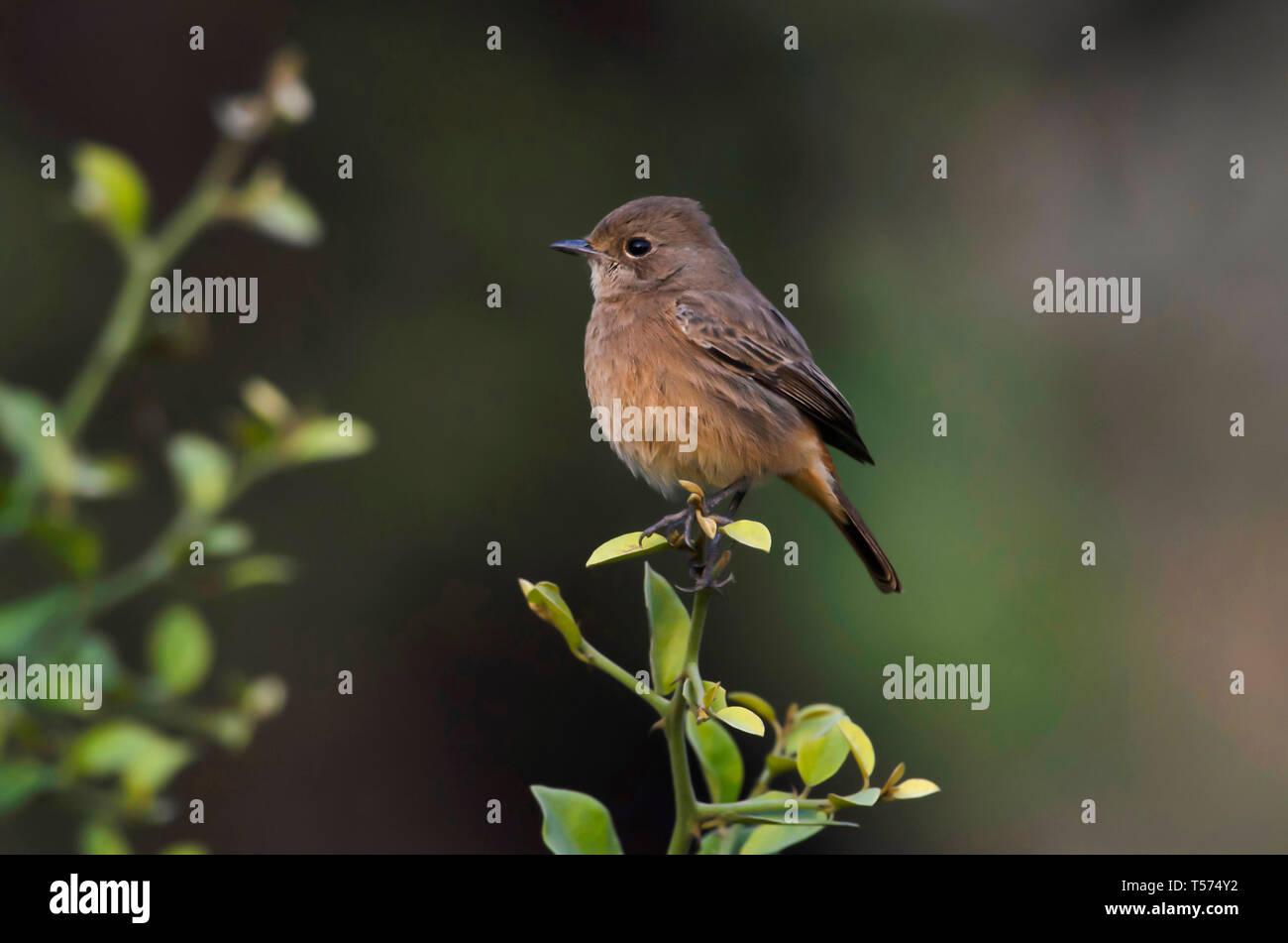Stonechat, Saxicola rubicola, Keoladeo National Park, Bharatpur, India. - Stock Image