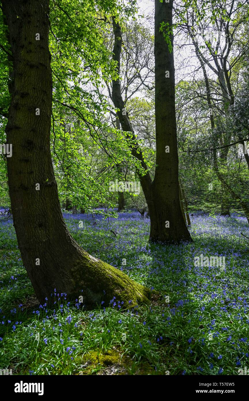 Haywards Heath Sussex, UK. 22nd Apr, 2019. A carpet of Spring bluebells in full bloom in woods near Haywards Heath Sussex on another beautiful hot sunny day Credit: Simon Dack/Alamy Live News Stock Photo