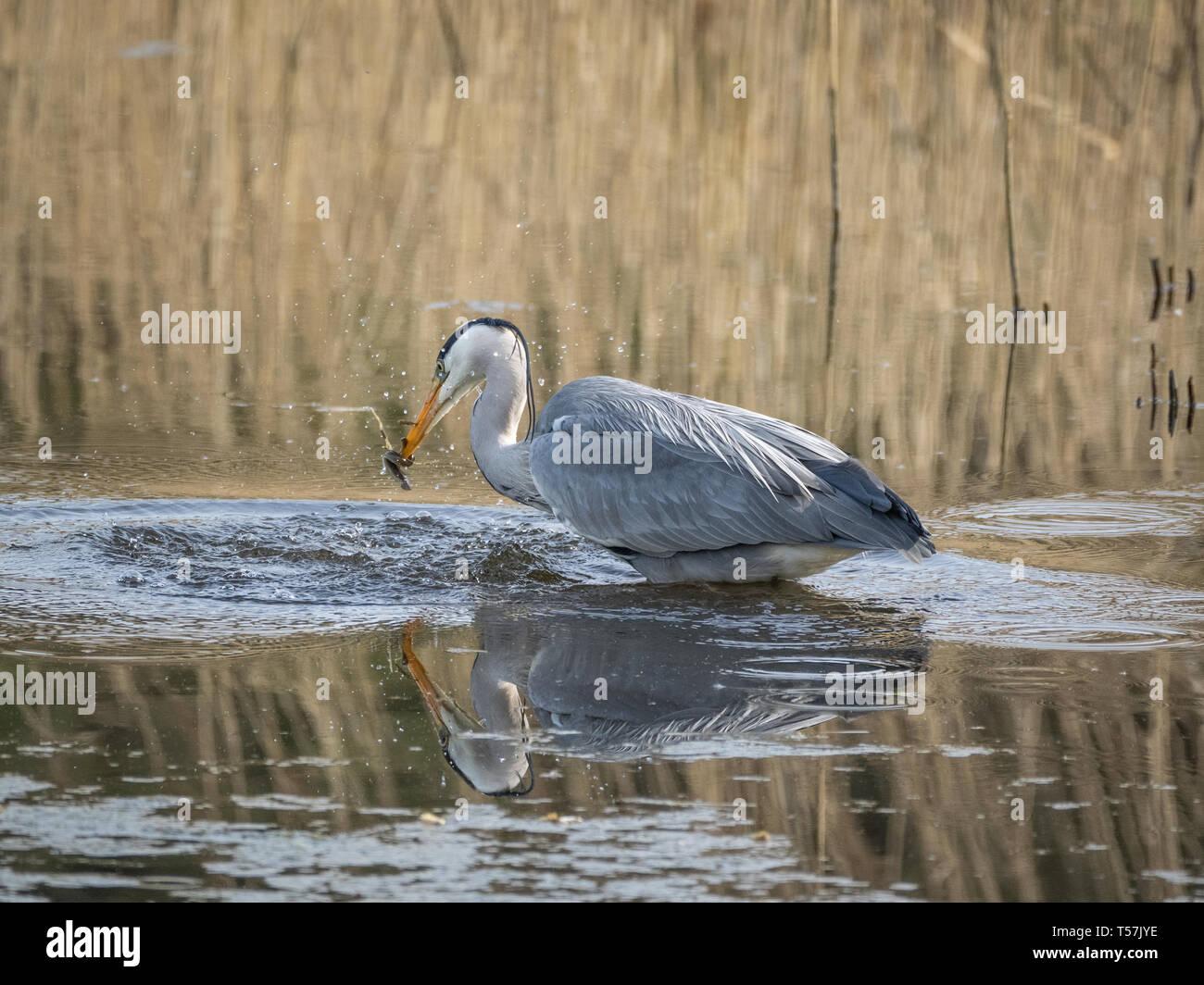 Heron catching eel, Welsh Wildlife Centre, Cilgerran, Wales Stock Photo