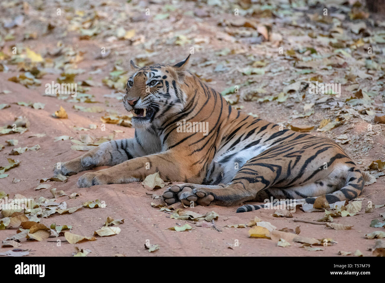 Bengal Tiger lying on forest floor  snarling - Stock Image
