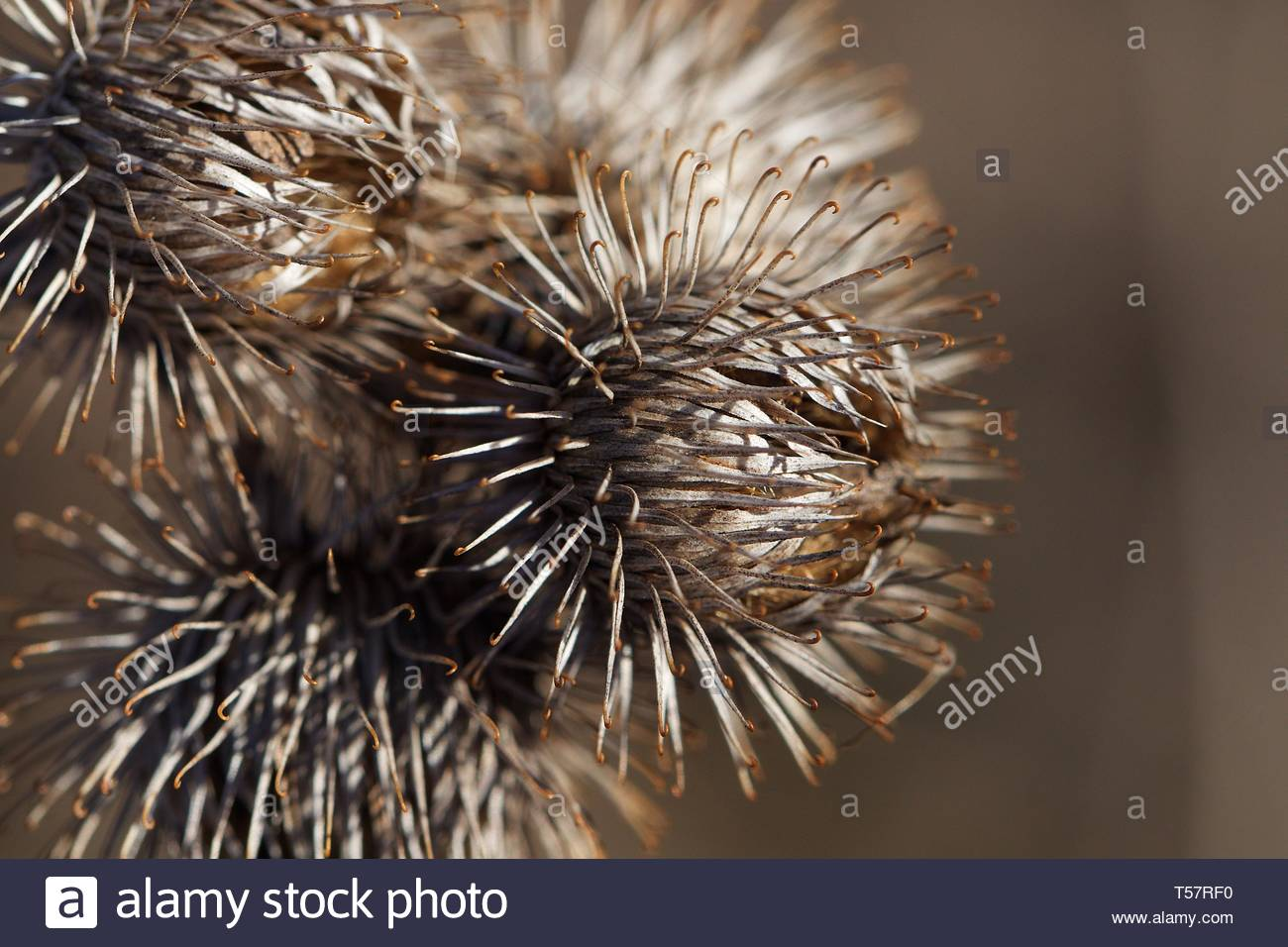 Macro photo of the Arctium (Burdock) plant in early spring. April 2019 - Stock Image