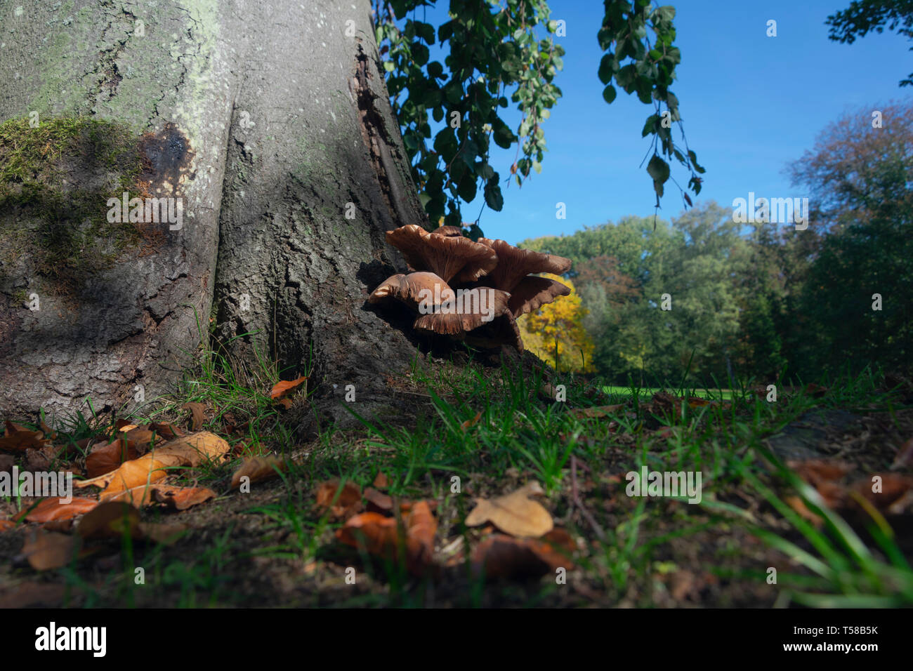 grey oyster mushroom grows on a tree in autumn Stock Photo