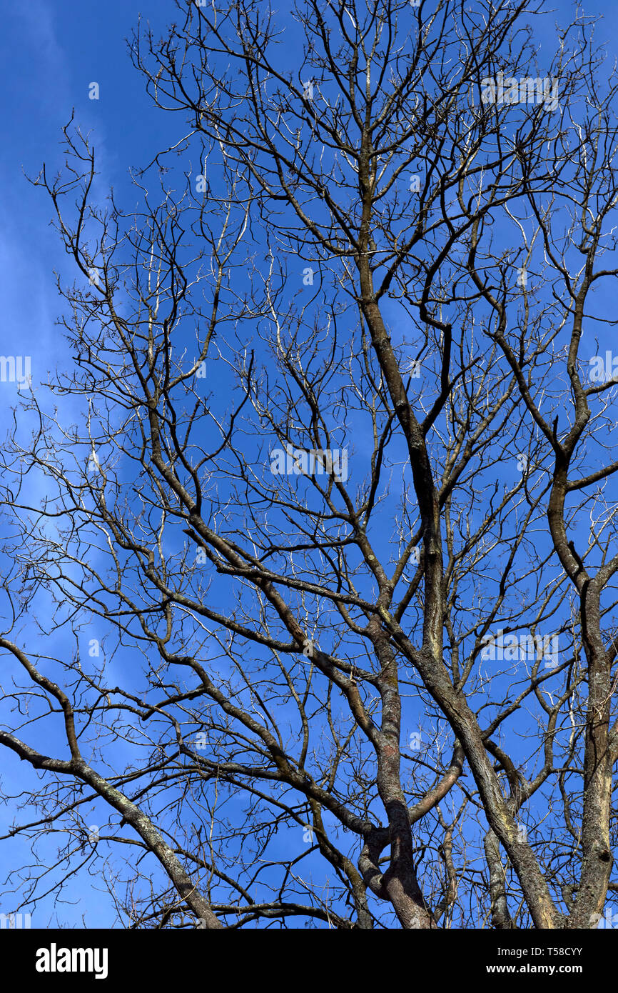 Tree structure without leaves against a blue sky with wisp of a cloud - Stock Image