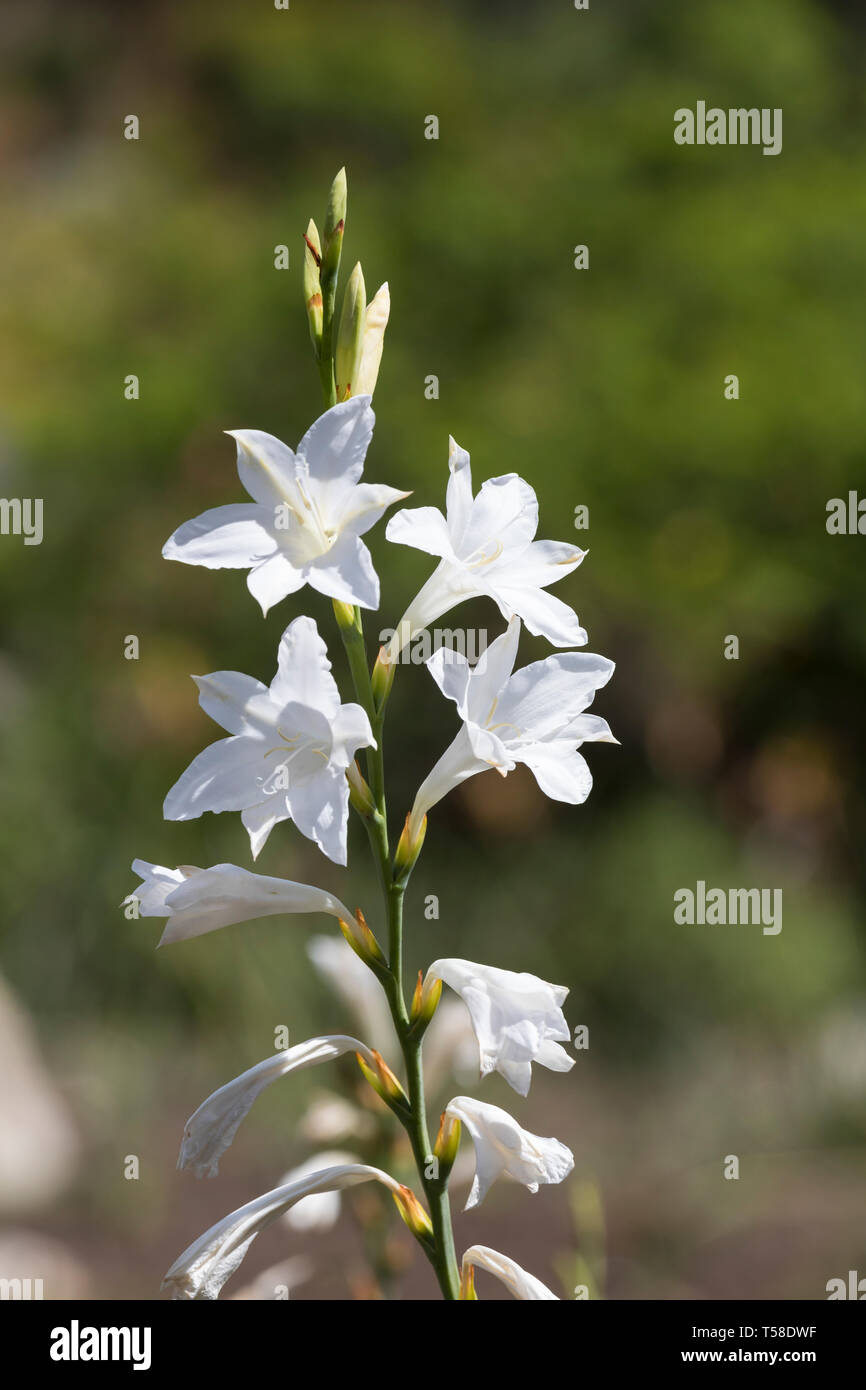 22 Bugle Lily High Resolution Stock Photography and Images   Alamy