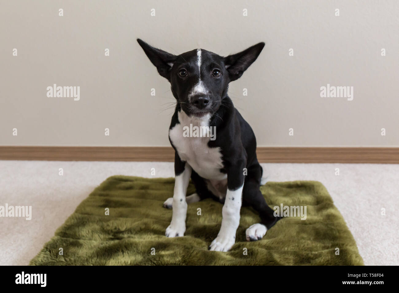 Alert Puppy Stock Photos & Alert Puppy Stock Images - Alamy