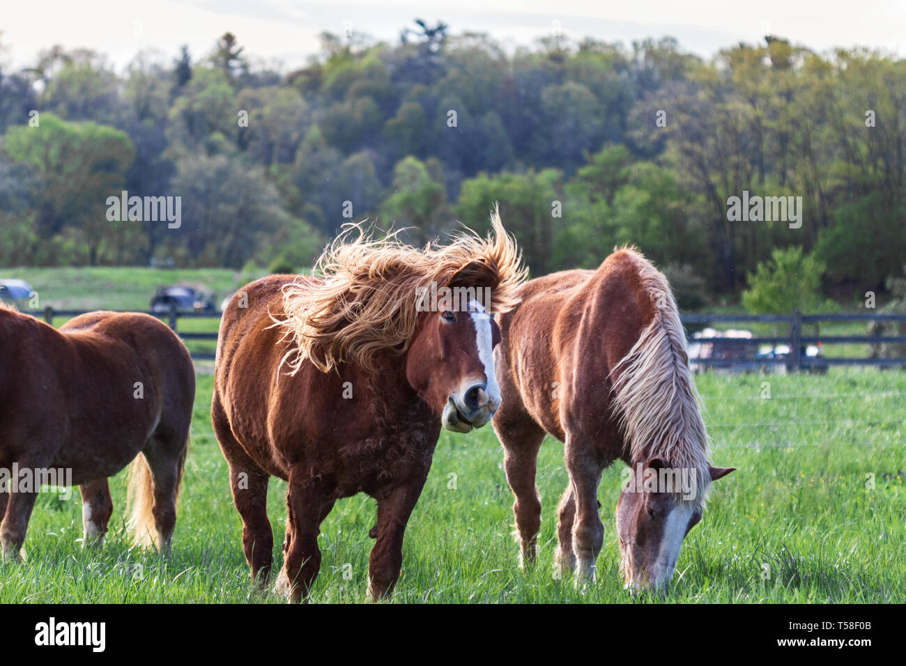 A Belgian draft horse (Equus Feus caballus) has its mane tossled by the wind - Stock Image