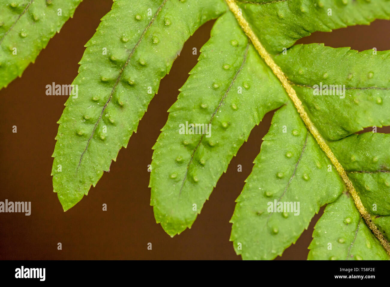 Issaquah, Washington, USA.  Licorice Fern (Polypodium glycyrrhiza) close-up of leaflets, also known as Many-footed Fern or Sweet Root. Stock Photo