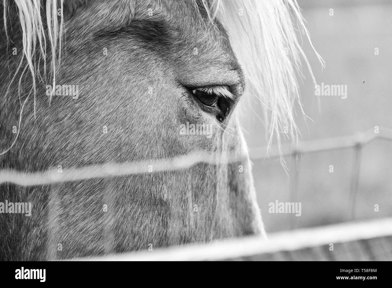 Close-up of a Belgian draft horse (Equus ferus caballus) - Stock Image