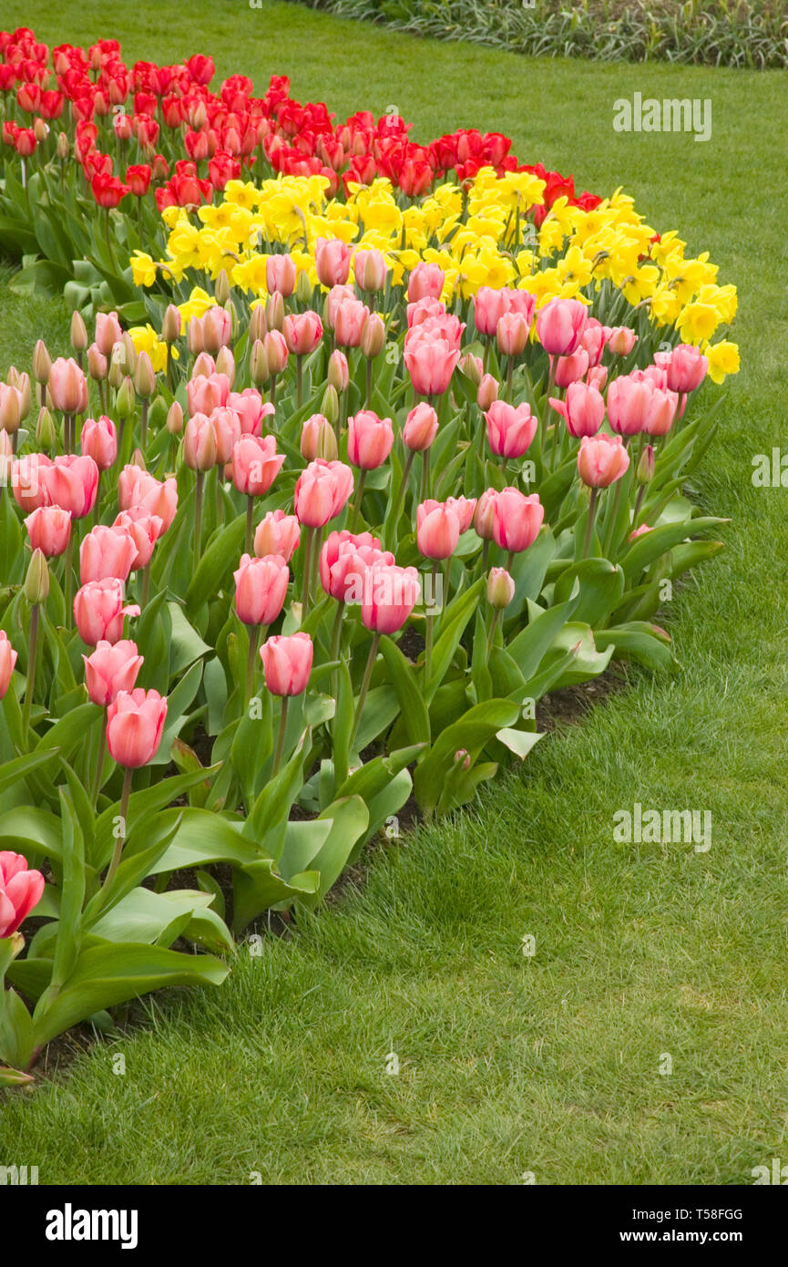 Mount Vernon, Washington, USA.  Curved row of tulips and daffodils, with foreground: Pink Impression tulips; middle: Standard Value daffodils; rear: R Stock Photo