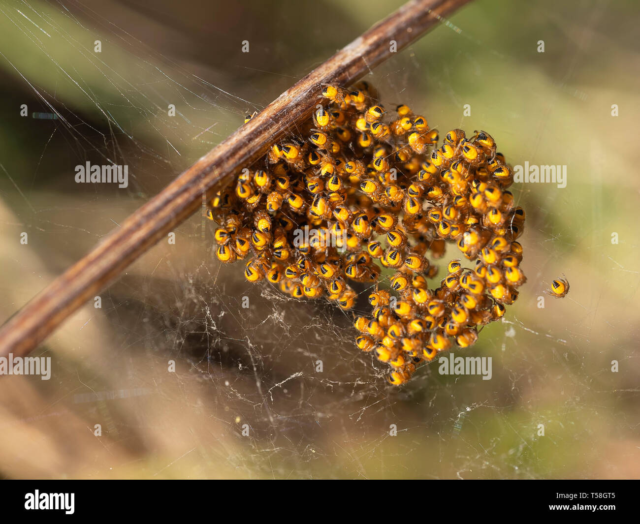 Baby orb weaver spiders, spiderlings, in nest, Yellow and black, macro. - Stock Image