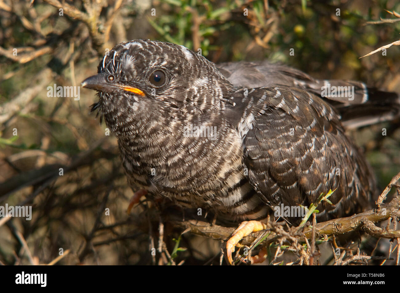 Common cuckoo - Cuculus canorus Young in the nest - Stock Image