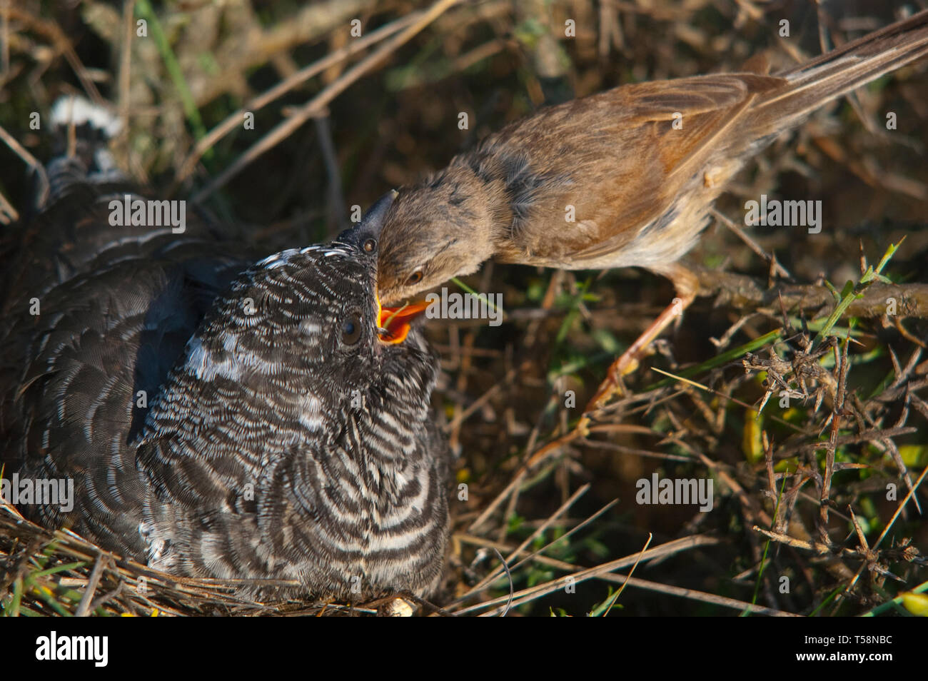 Common cuckoo - Cuculus canorus Young in the nest fed by his adoptive mother - Sylvia conspicillata - Spectacled Warbler - Stock Image