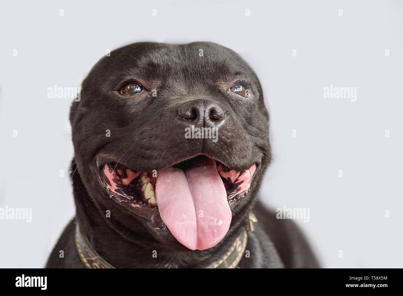 Beautiful dog portrait in smooth gray background. smiling dog English Staffordshire bull terrier close-up - Stock Image