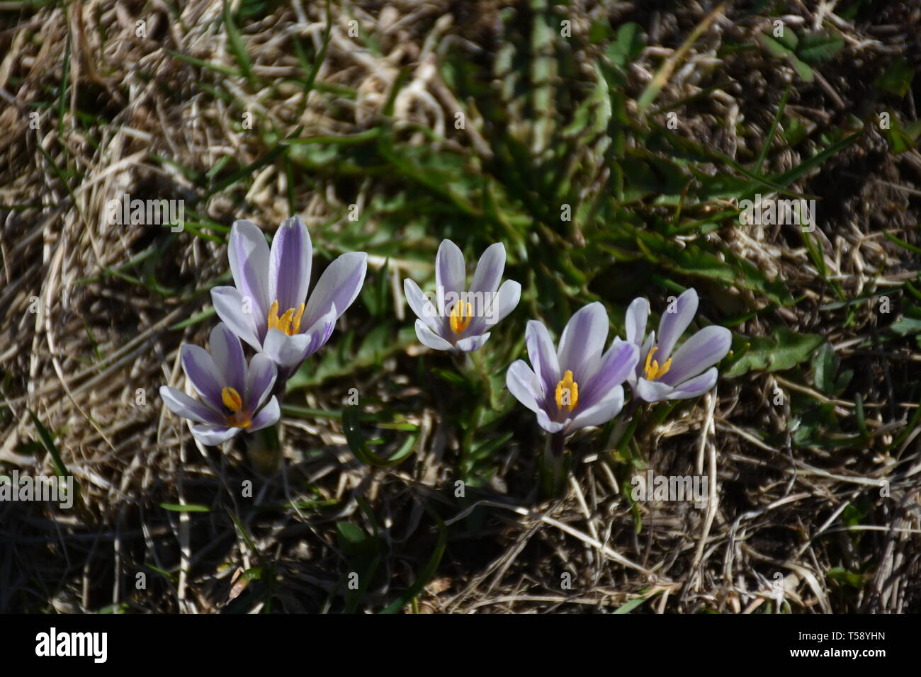 Krokus, Krokusse, Blume, Blumen, Blüte, Blüten, Frühling, Frühlingsblume, Wiese, Weide, genügsam, Wiesenblume, Crocus, Schwertlilie, Schwertliliengewä - Stock Image