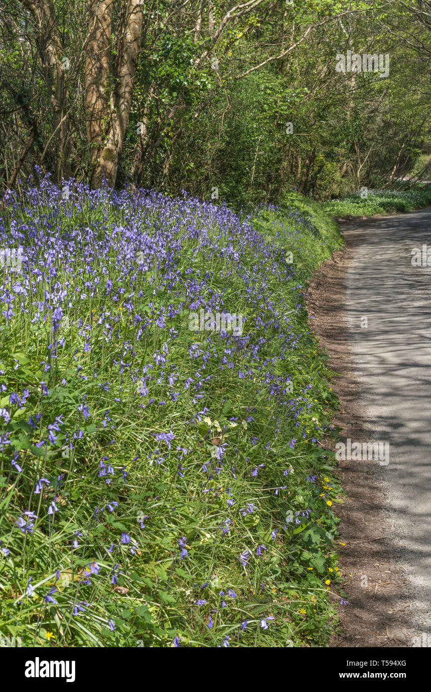 Mass of Bluebells / Endymion non-scriptus growing alongside a rural country lane in Spring sunshine. - Stock Image