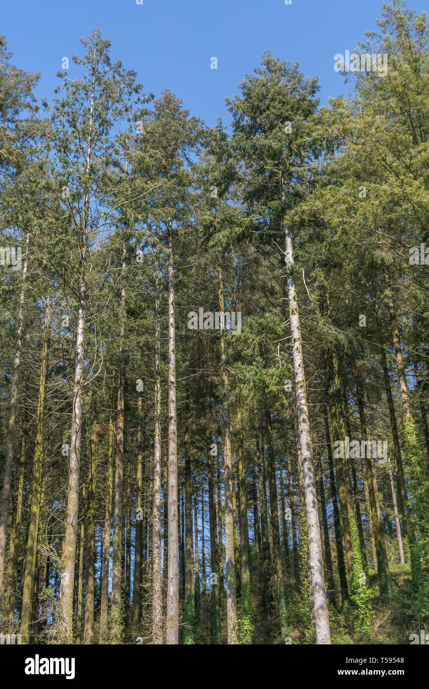 Mainly Larch forest / woodland trees in Spring sunshine. - Stock Image
