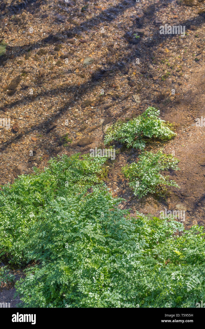 Sunlit bed of the River Fowey infested with highly poisonous Hemlock Water-dropwort / Oenanthe crocata plants. One of UK's most poisonous plants. Stock Photo