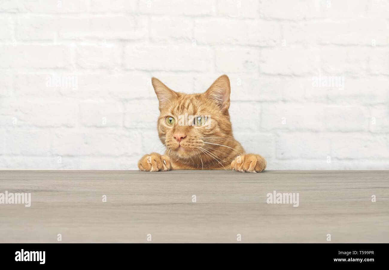 : Cute ginger cat is looking curious up to the table. - Stock Image