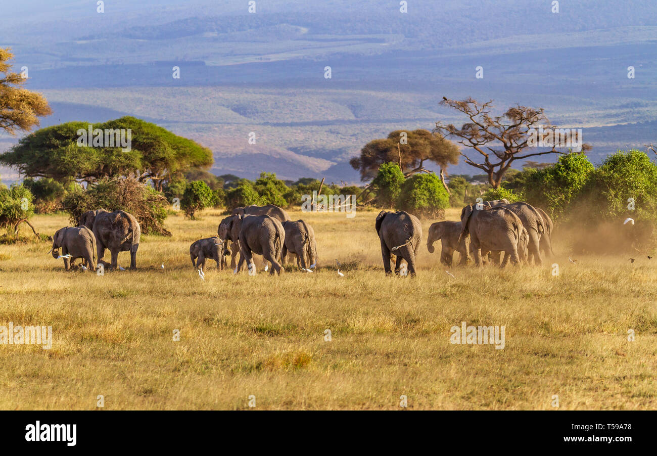 """African elephant family group """"Loxodonta africana"""" cross dusty grassland with trees and hills in distance. Amboseli National Park, Kenya, East Africa Stock Photo"""