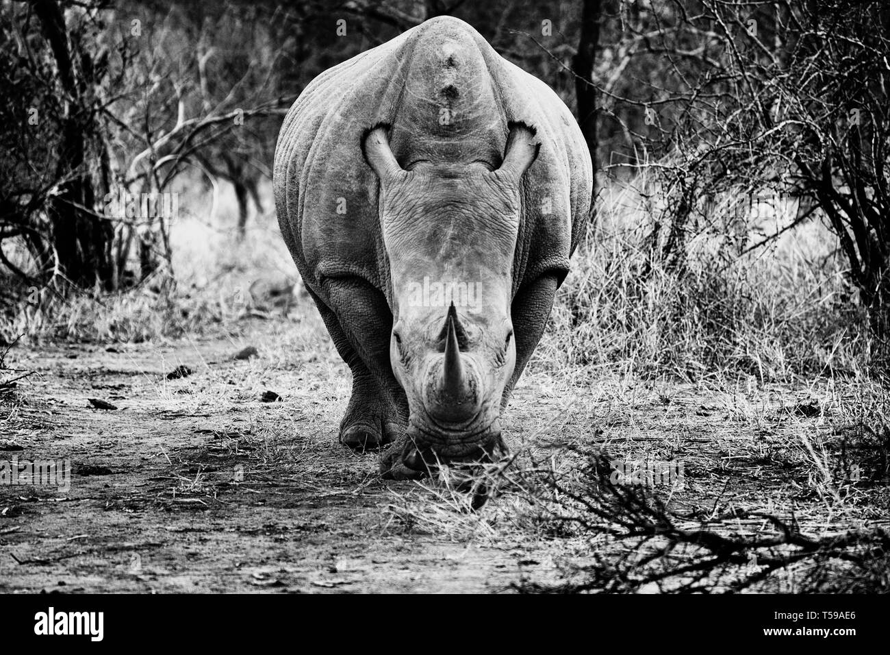Rhino looking at you, just before the charge. Horns and symmetries. Black and white photography. - Stock Image