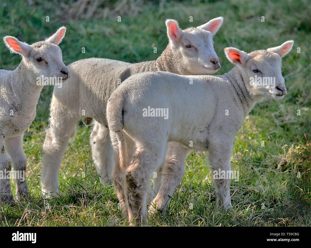 Three Spring lambs Stock Photo