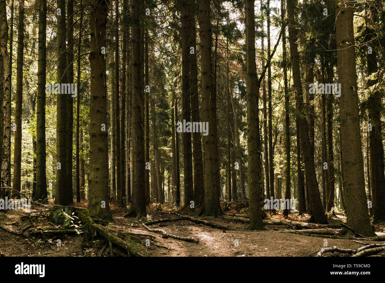 Spruce trees in a forest - Stock Image