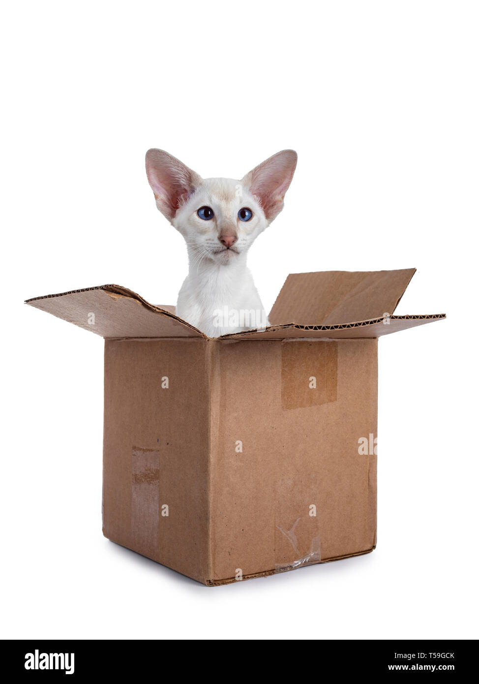 Cute Siamese kitten  sitting in brown paper box. Looking beside lens with mesmerizing blue eyes. Isolated on a white background. - Stock Image