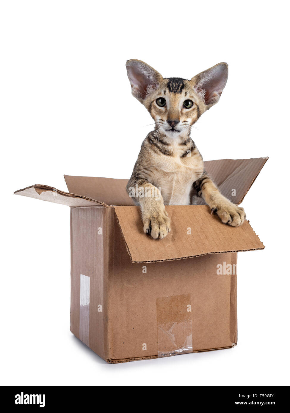 Cute tabby Oriental Shorthair kitten  sitting in brown paper box. Looking beside lens lens with green eyes. Isolated on a white background. Paws on ed - Stock Image