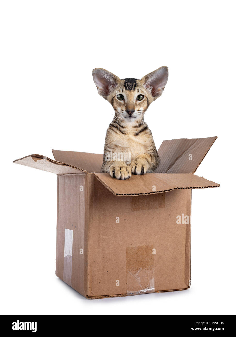 Cute tabby Oriental Shorthair kitten  sitting in brown paper box. Looking straight at lens lens with green eyes. Isolated on a white background. Paws  - Stock Image