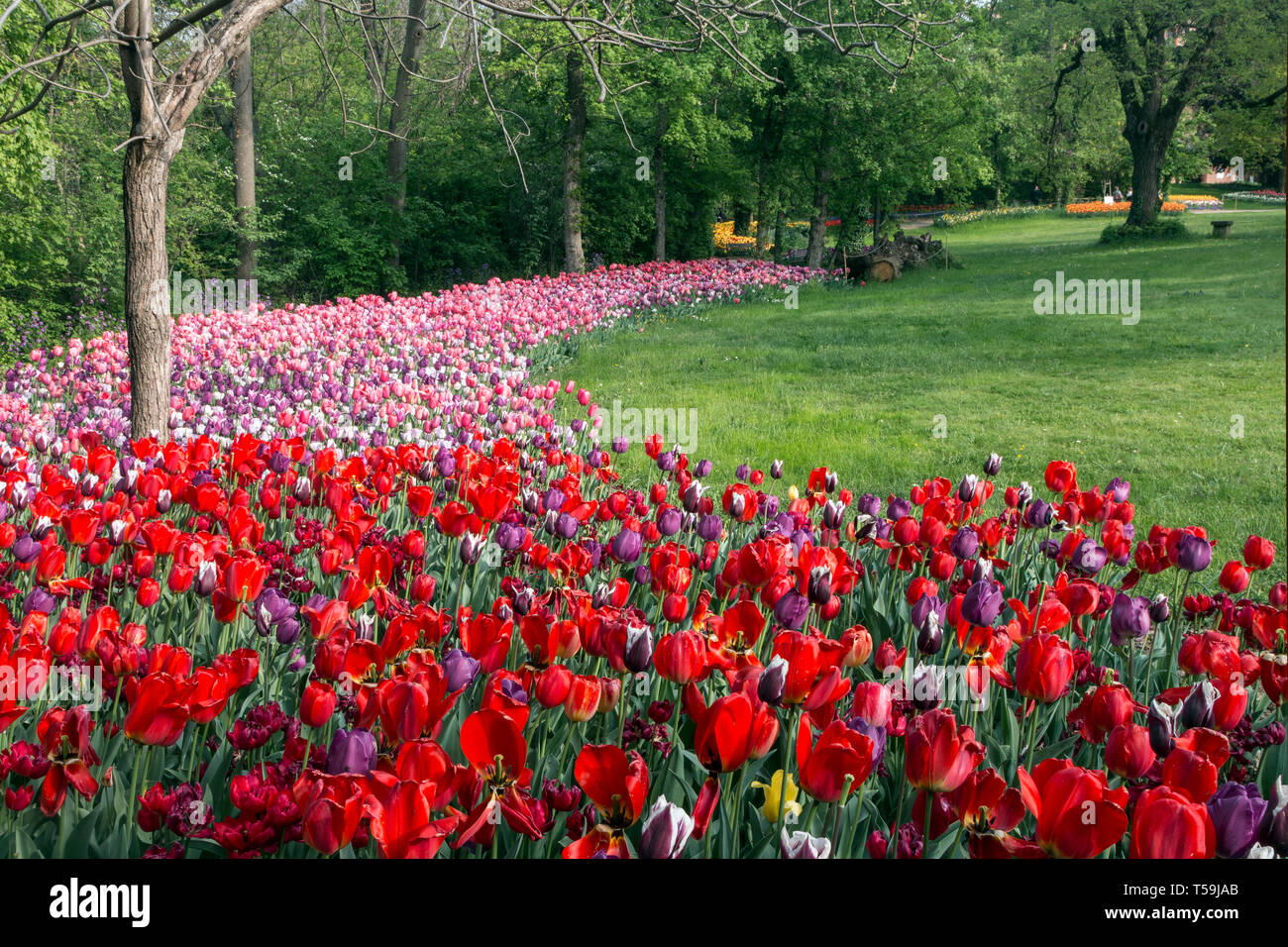 A stunning display of multiple colors tulip flowers in the Castle of Pralormo nearby Turin, Italy, where every year in April the Exhibition of Messer  - Stock Image
