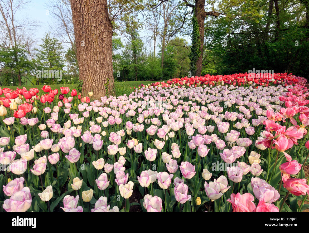 A wonderful flowerbed of white and pink tulip flowers in the Castle of Pralormo nearby Turin, Italy, where every year in April the Exhibition of Messe - Stock Image
