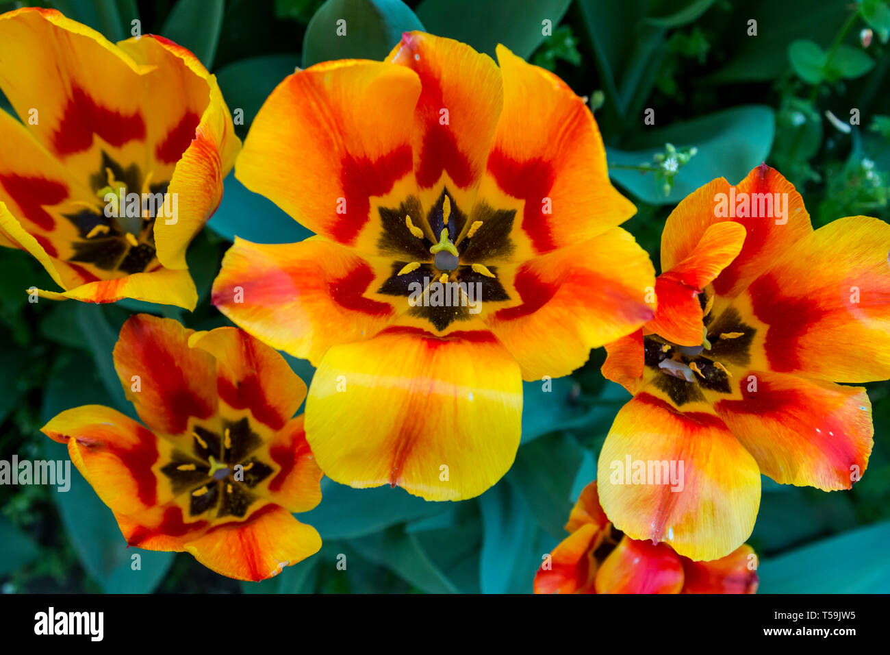 Some wonderful, fully grown up orange and yellow tulips at the castle of Pralormo nearby Turin, Italy, where every year in April the exhibition Messer - Stock Image