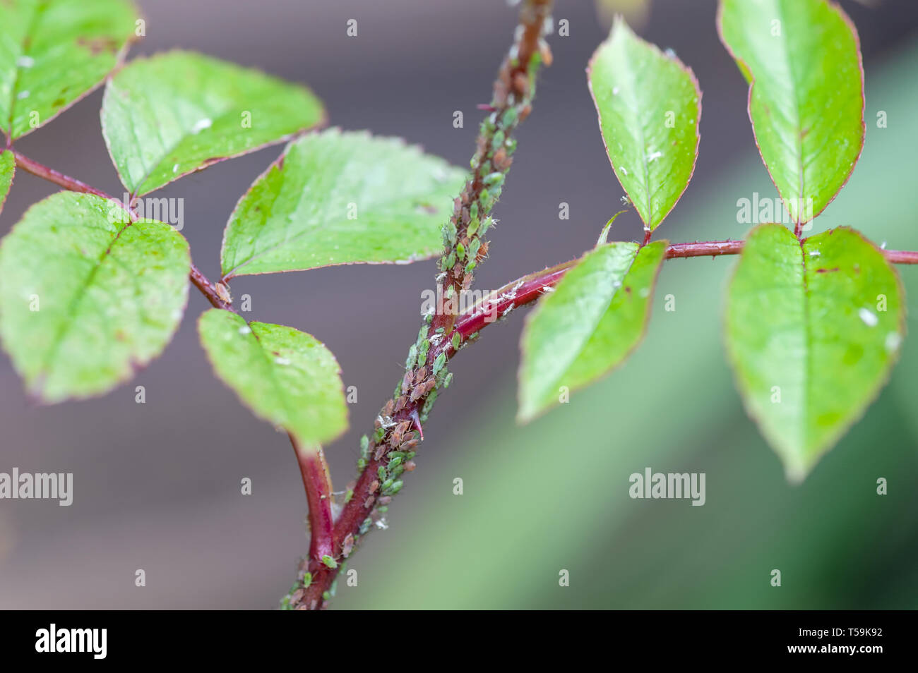 Rose stems covered in aphids. - Stock Image