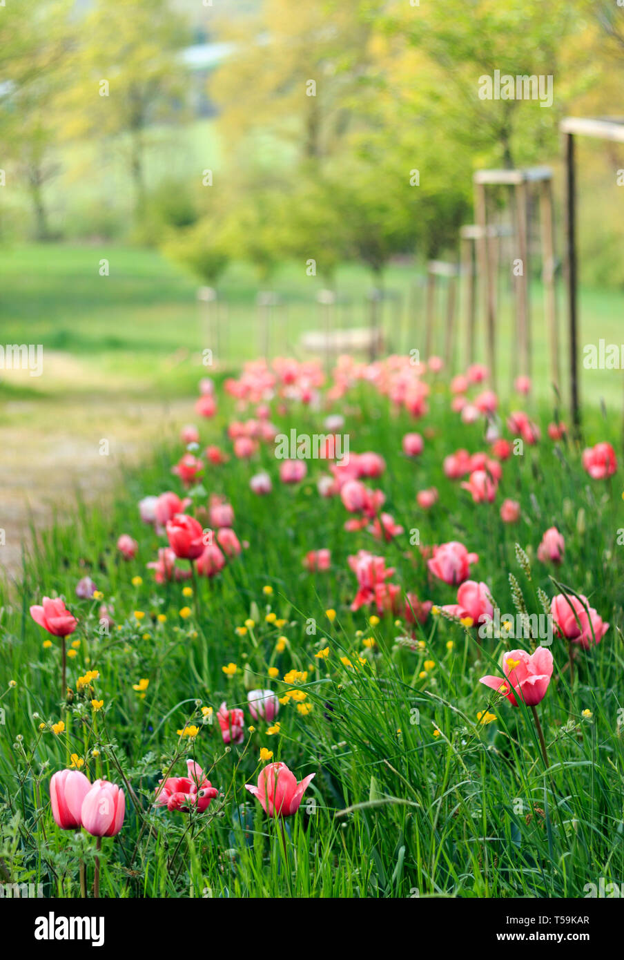 Beautiful pink tulip flowers in a park way of the Castle of Pralormo nearby Turin in Piedmont, Italy, where every in April the famous Messer Tulipano  - Stock Image