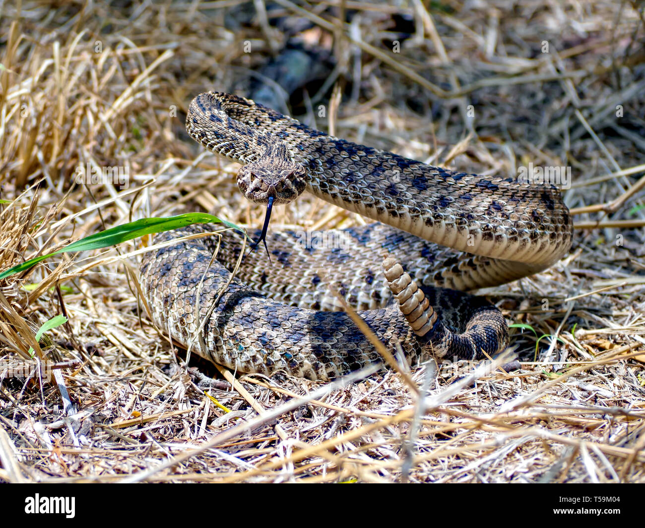 A Western Diamondback Rattlesnake in defensive posture prepares to strike at a perceived threat. Oso Bay Wetlands Preserve & Learning Center. Stock Photo