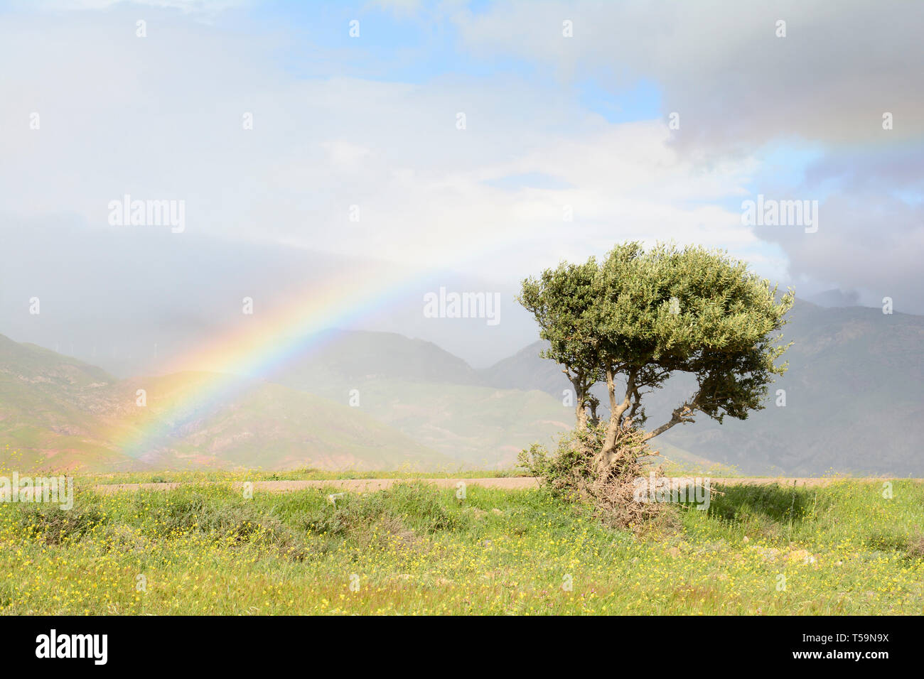 Alone olive tree and rainbow at back at spring time grass field, beautiful colors in the cloudy sky - Stock Image