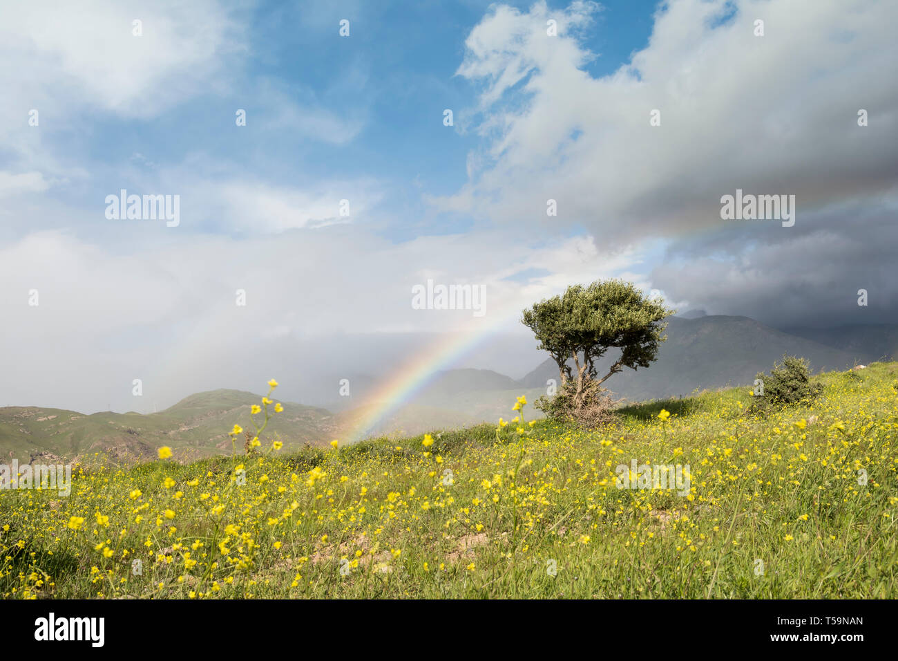 Alone olive tree and rainbow at spring time grass field with yellow flowers, beautiful colors in nature - Stock Image