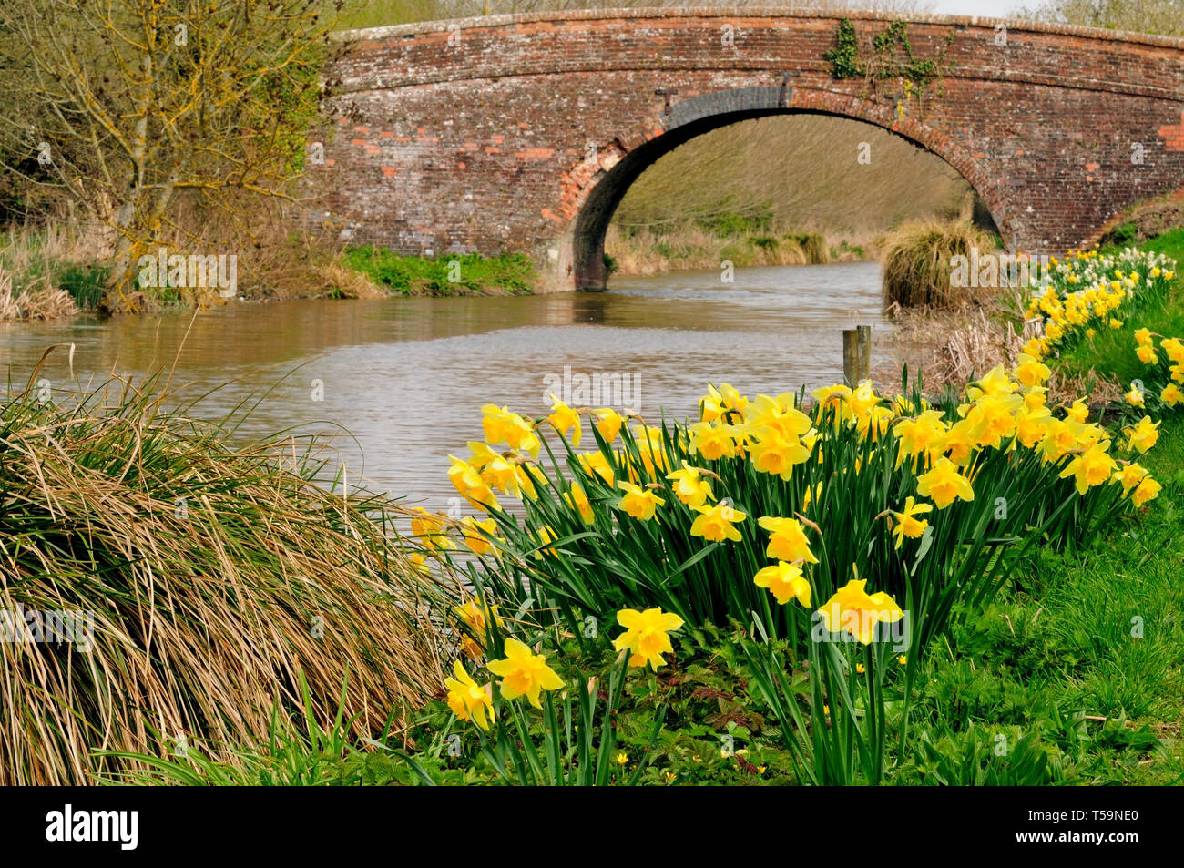Daffodils beside the Kennet and Avon canal. - Stock Image