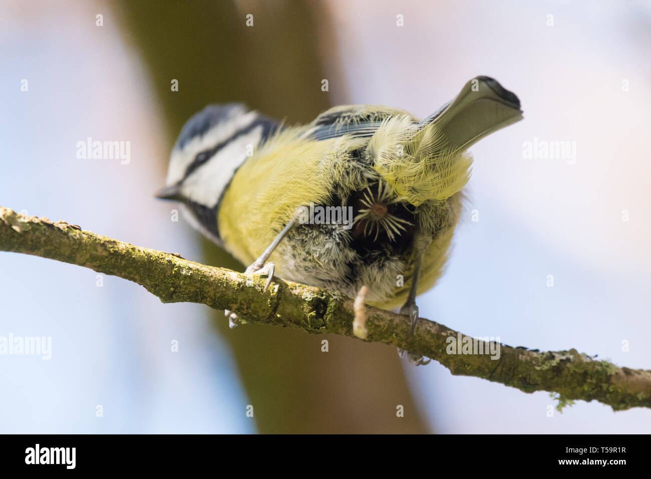 blue tit cloaca visible as it defecates Stock Photo