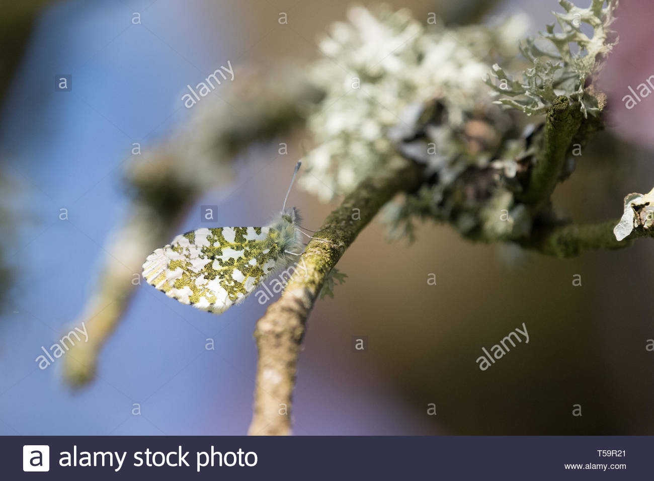 orange tip butterfly - anthocharis cardamines - beautifully camouflaged on the branch of a lichen covered tree - Scotland, UK Stock Photo