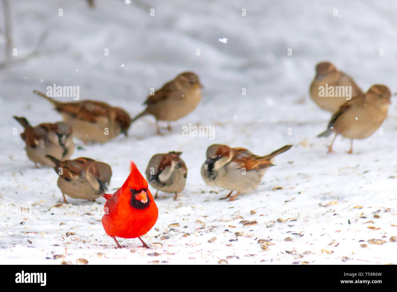 Cardinal leading the swarm of chickadees - Stock Image