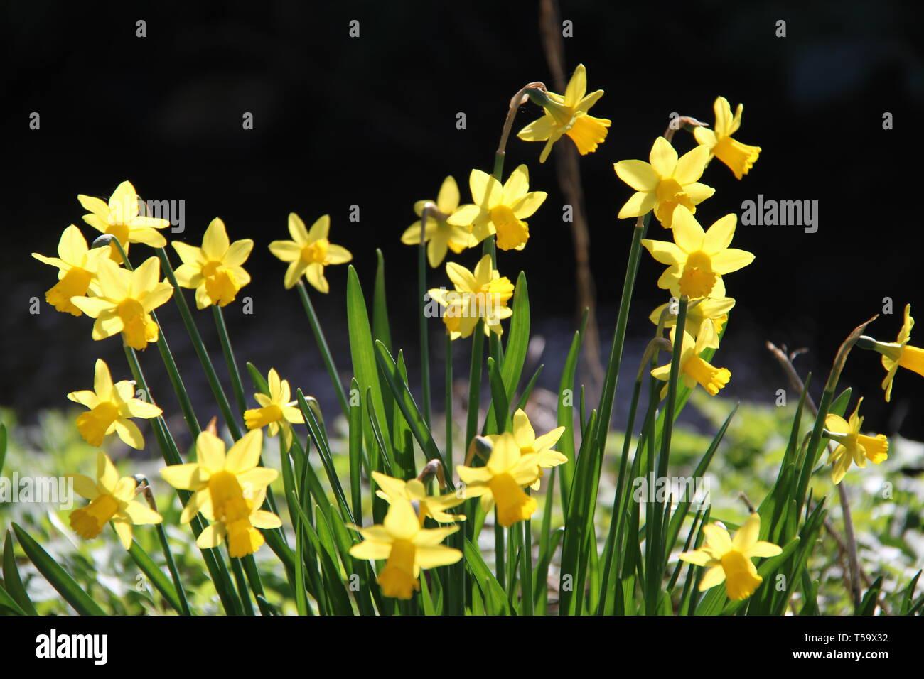 Osterglocke Narzisse gelb blühen Blumen Frühling - Stock Image