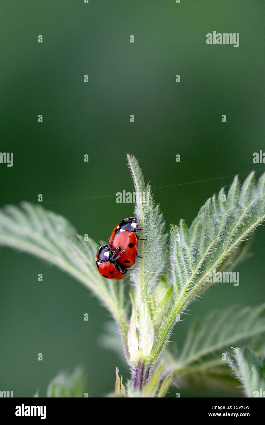 Pair of seven spot ladybirds (Coccinella septempunctata) mating on the leaf of a stinging nettle Stock Photo
