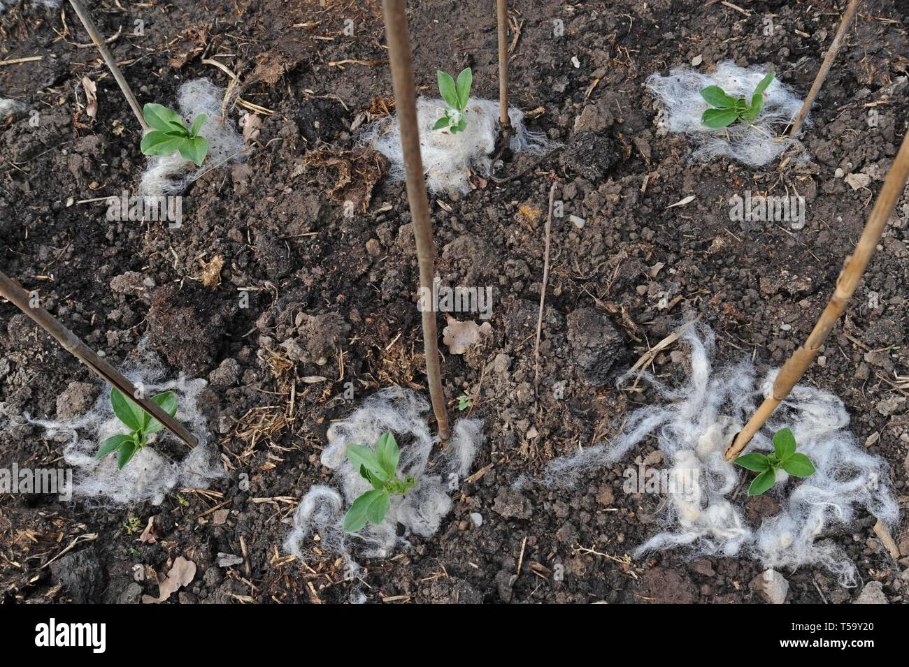 Young broad bean (Vicia faba) plants showing sheep's wool used as a natural green gardening slug deterrent - Stock Image