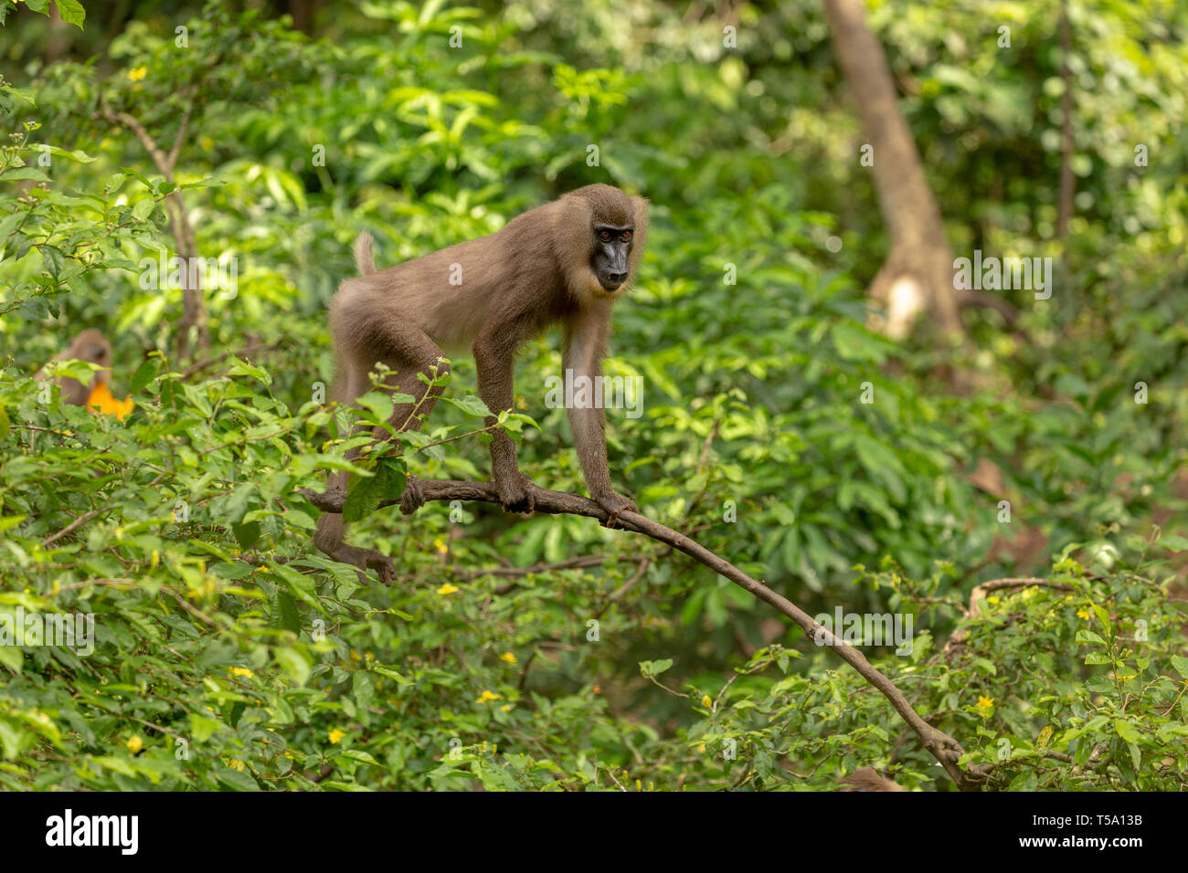 Juvenile drill monkey - Stock Image
