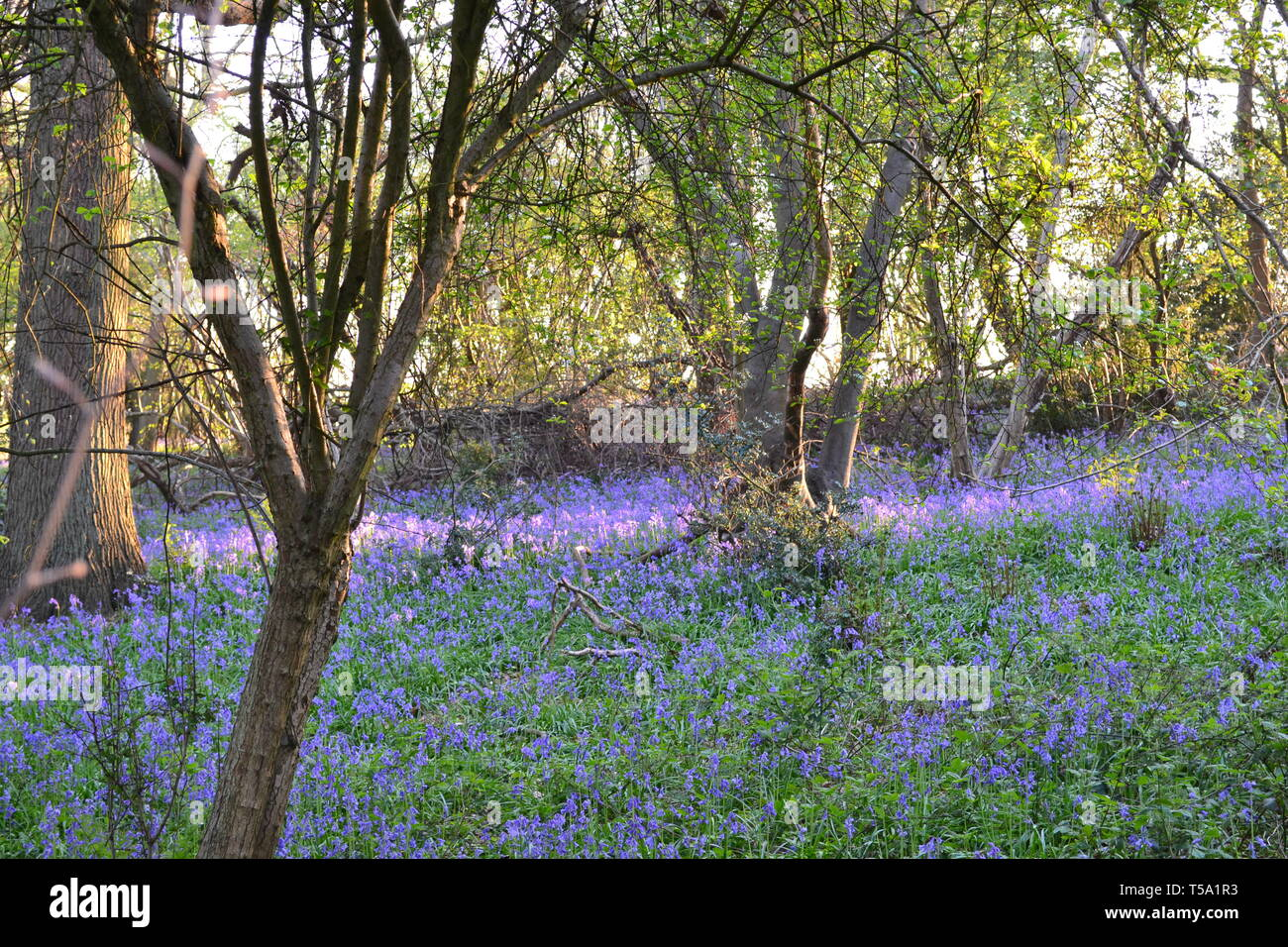 Bluebells on 21 April in Spring close to Downe Bank Kent Wildlife Trust area in late afternoon. Charles Darwin's House and Biggin Hill airport nearby - Stock Image