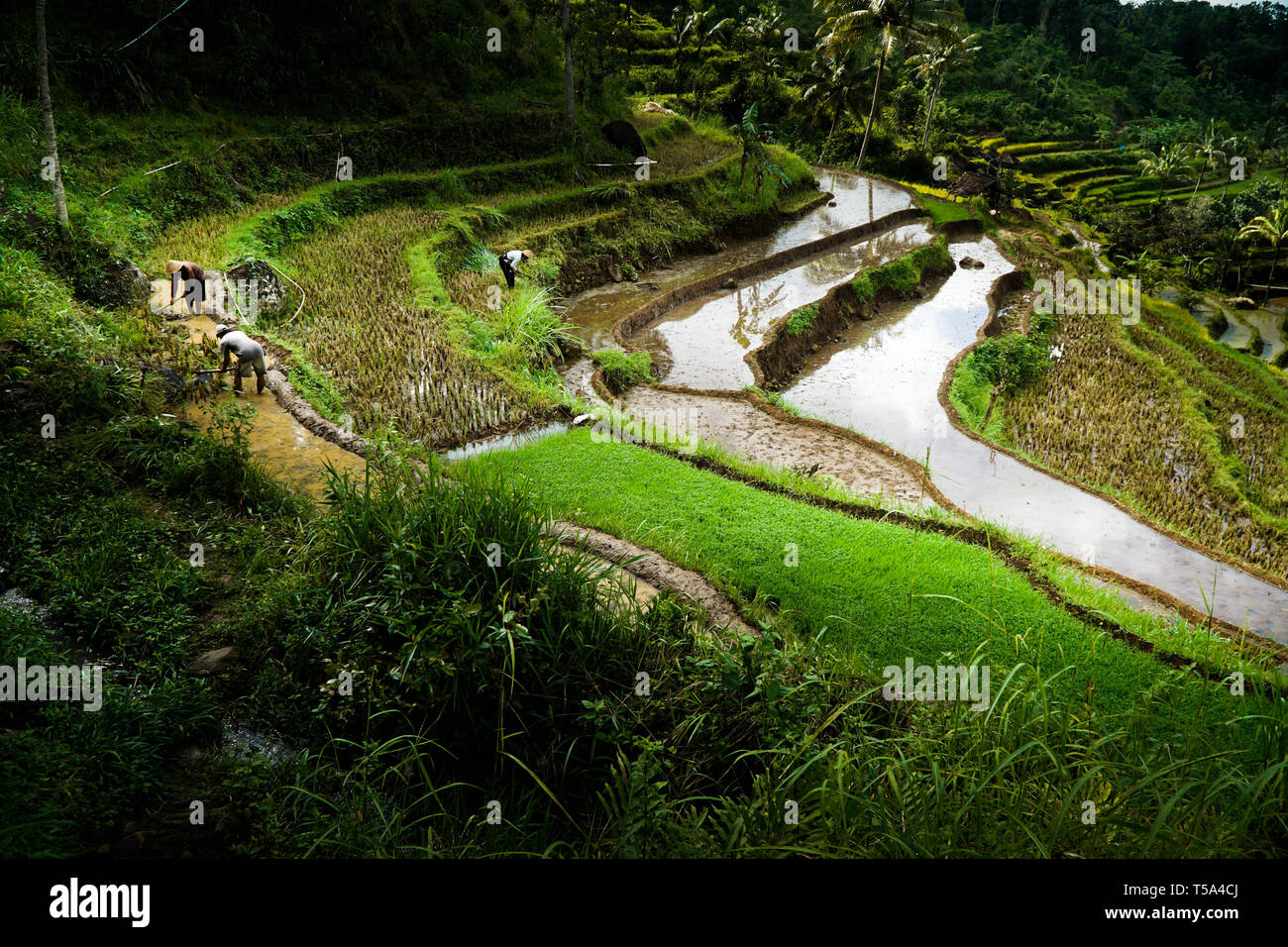 Aerial paddy field, Rice Terraces in Bali - Stock Image